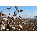 Cotone e cotone biologico